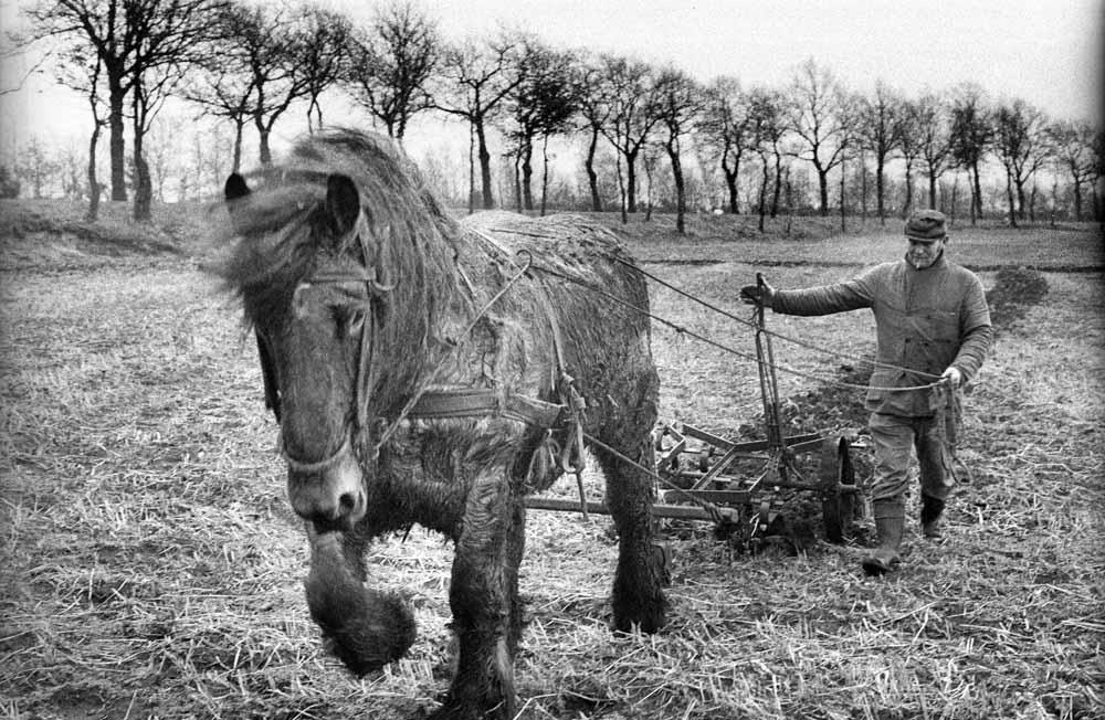 Belgisch trekpaard in 1976. foto Piet den Blanken